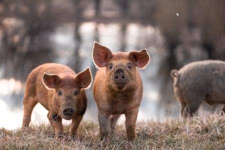 카메라를 찾고 목장에서 귀여운 오렌지 젊은 mangalitsa (모피) 돼지. 선택적 포커스, 따뜻한 톤.
