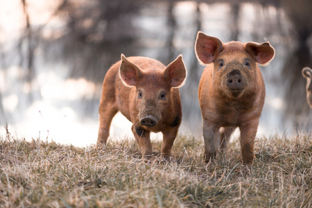 warmer: Cute orange young mangalitsa (furry) pigs on the pasture looking at the camera. Selective focus, warmer tones.