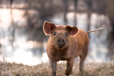 animal only: Cute orange young funny mangalitsa (furry) pig on the pasture looking at the camera. Selective focus, warmer tones. One animal only Stock Photo