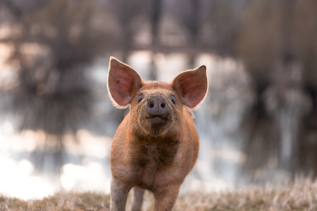 young pig: Cute orange young funny mangalitsa (furry) pig gesturing on the pasture looking at the camera. Selective focus, warmer tones. One animal only