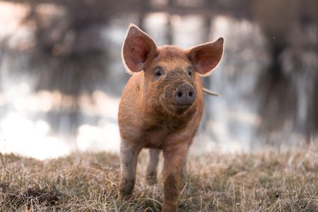 warmer: Cute orange young mangalitsa (furry) pig on the pasture looking away camera. Selective focus, warmer tones. One animal only