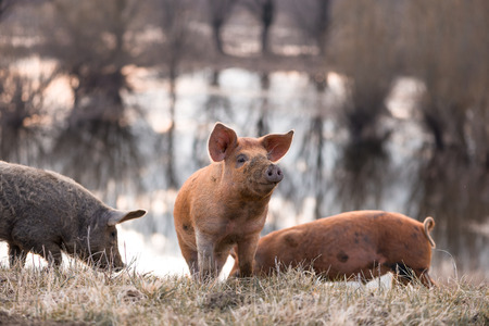 warmer: Three small funny mangulitsa furry pigs pasturing on the field. Selective focus, selective focus, warmer tones