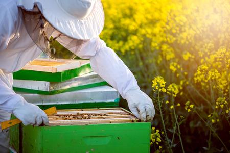 colmena: El apicultor con equipo completo control de las colmenas en el campo de colza en flor. Enfoque selecive, destello de lente, copia espacio