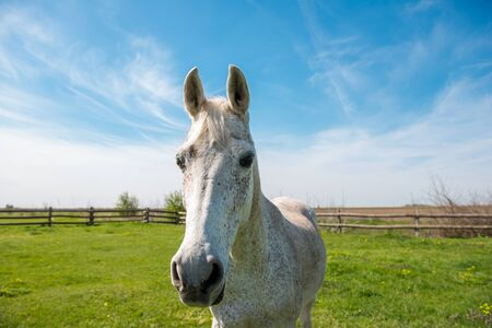 narrow depth of field: White domestic arabic horse on the field. Looking at the camera. Selective focus, narrow depth of field. Stock Photo