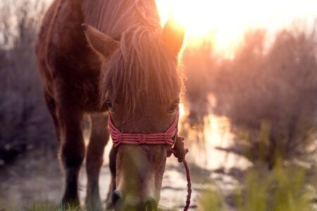 warmer: Horse grazing on pasture at sundown in orange sunny beams. Direct sunlight warmer tones selective focus shallow depth of field low angle shot Stock Photo