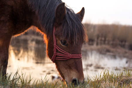 warmer: Horse grazing on the pasture near the swamp at sunset. Narrow depth of field warmer tones low angle shot.