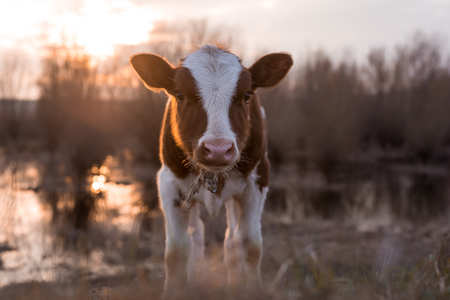 warmer: Calf cow standing on the field near the swamp at sunset and looking at the camera. Selective focus narrow depth of field. Lens flare with warmer tones copy space
