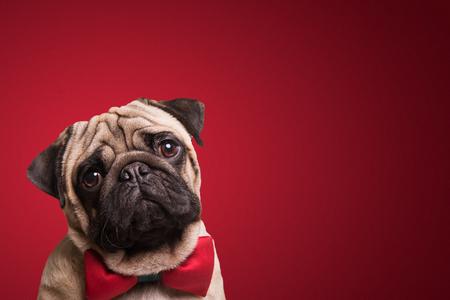 빨간색 배경에 귀여운 퍼그 강아지의 쐈 어. 스톡 콘텐츠