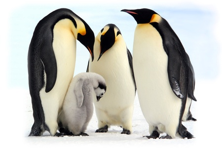 weddell: Antarctique, manchots empereurs