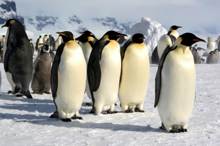 emperors: Manchots Empereurs  Emperor penguins  Coulmann Island  Antarctic   Stock Photo