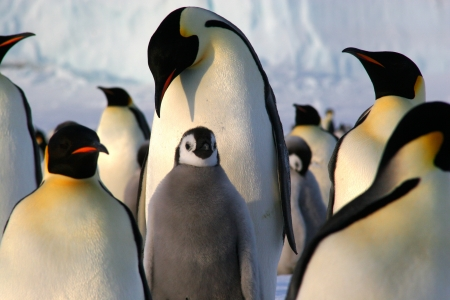 weddell: Banquise de Ross, Manchots empereurs  Emperor penguins  Stock Photo