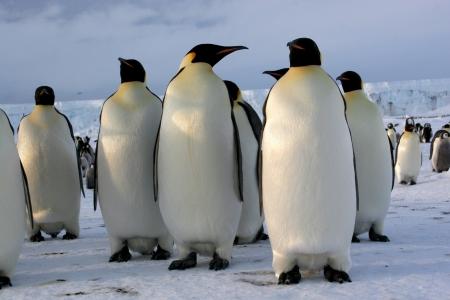 Manchots Empereurs  Emperor penguins  Antarctique  photo