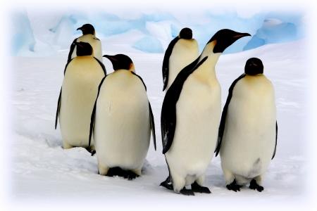 weddell: Antarctique, groupe de manchots empereurs  emperor penguins