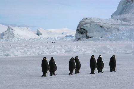 weddell: Manchots empereurs  Cap Washington, Antarctique  Stock Photo