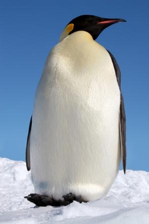 weddell: L empereur, le plus grand des manchots Stock Photo