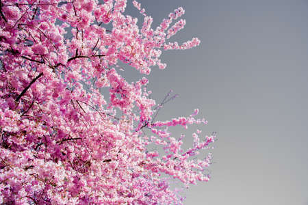 Spring Pink Blossom On A Bright Sunny Afternoon Showing Off Its Awesome Color In Fall City Washington