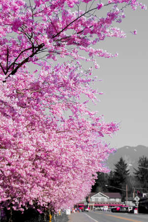 The Town of Fall City Washington Covering With Bright Pink Spring Cherry Blossom On A Warm Afternoon Stock Photo