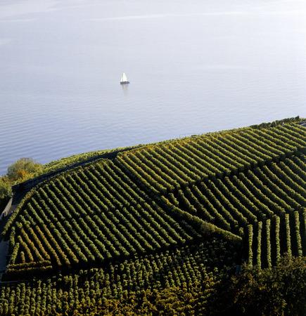 vine terrace by the lake in Switzerland 版權商用圖片