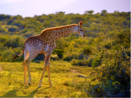 poaching: Giraffe in Buckands, Eastern Cape, South Africa