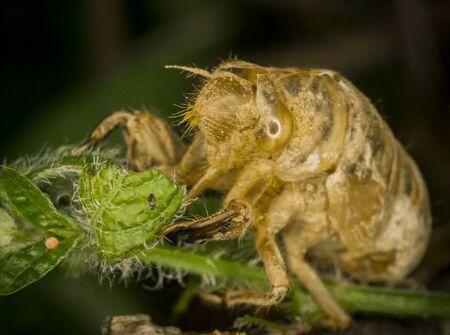 chitin: Cicada