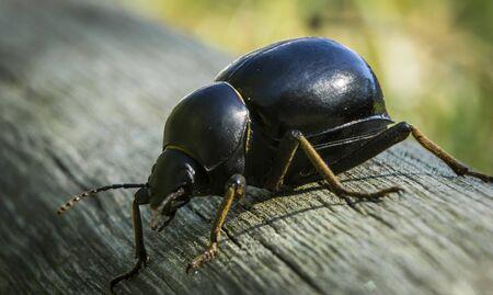 dung: Dung beetle Stock Photo