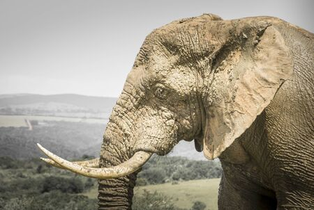 the game reserve: Elephant, Kariega Game Reserve Stock Photo