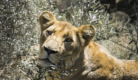 the game reserve: Lion, Kariega Game Reserve