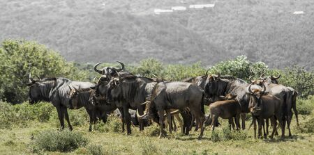 wildebeest: Blue wildebeest, Kariega Game Reserve Stock Photo