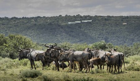 the game reserve: Blue wildebeest, Kariega Game Reserve Stock Photo