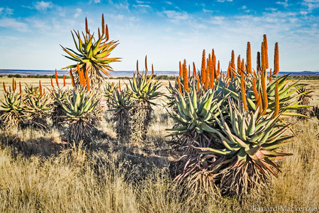 Aloes in the wild