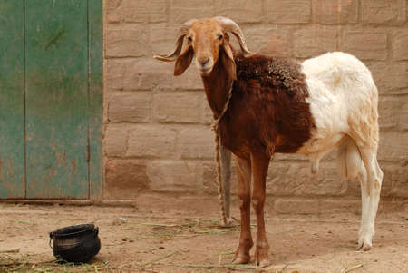 goat horns: two colored african goat