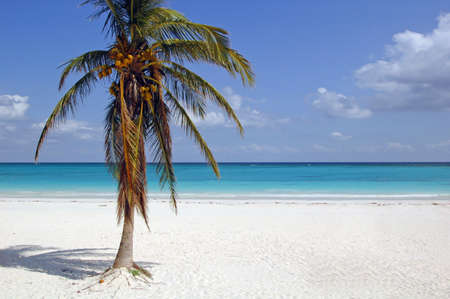 riviera maya: Tulum beach at the riviera maya with coconut palm tree Stock Photo