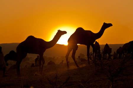 camello: Camellos en el Pushkar de la Mela de 2009 en Rajasthan, India capturan como una silueta.