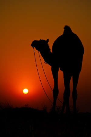 Silhouetted camels in the desert at the Pushkar Camel Fair in Rajasthan, India 2009. photo
