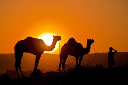 camello: Silueta de camellos en el desierto en la feria Pushkar de Camel en Rajasthan, India 2009.