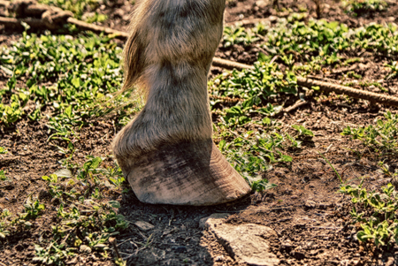 hoof: Photograph of a horse hoof on a natural background