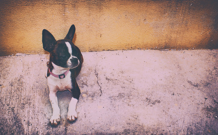 neckless: Photograph of a Boston terrier puppy dog on a concrete floor and yellow background
