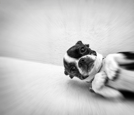 neckless: Black and white photograph of a Boston terrier puppy dog on a concrete floor Stock Photo