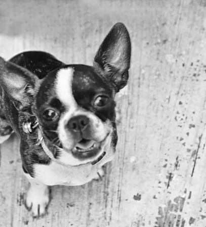 neckless: Photograph of a Boston terrier puppy dog on a concrete floor Stock Photo