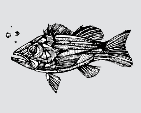 Hand drawn vector illustration or drawing of a fish in a realistic style