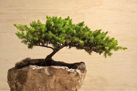 Fotografía de un árbol de los bonsai japonés tradicional Foto de archivo - 42199097