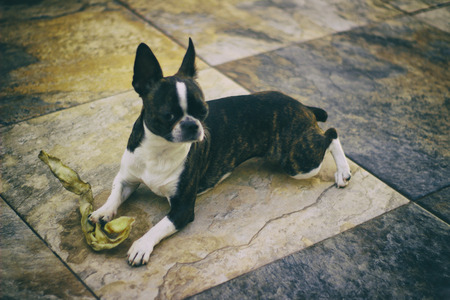 mosaic floor: Photograph of a Boston Terrier puppy dog on a mosaic floor