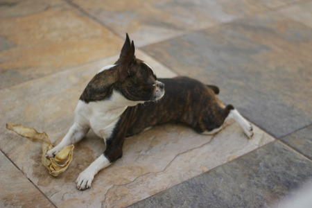 stone floor: Photograph of a Boston Terrier puppy dog on a mosaic floor