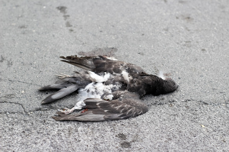 bird feathers: Photograph of a dead dove on the street Stock Photo