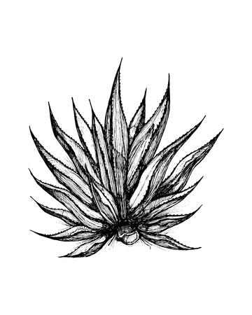 手描きのベクトル図やリュウゼツランの植物の図面