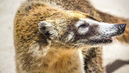 Photograph of a Mexican mayan Coati animal