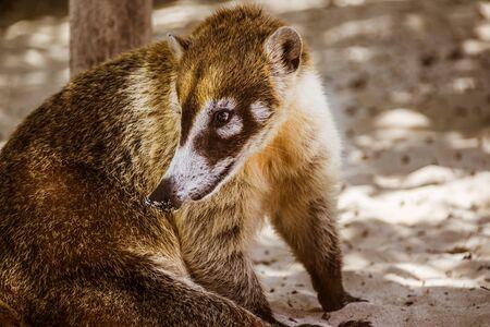 Mexican mayan Coati animal