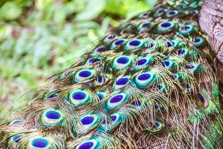 Peaflow 鳥のカラフルな尾の写真 写真素材