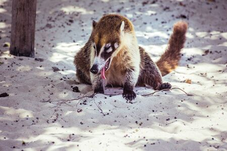 Mexican mayan Coati animal