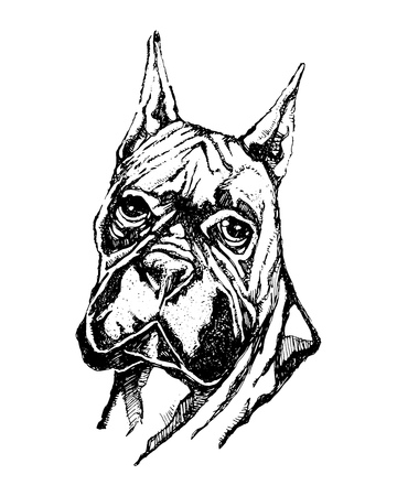 Hand drawn vector illustration or drawing of a boxer dog head Stock Illustratie